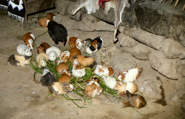 Guinea pigs mingle with chickens inside Inca homes in the countryside...